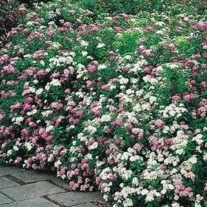 Has white, pink and red bloom clusters cover it. Nice in group plantings or as a border accent.