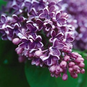 You'll fall in love with this lilac when you see it flower! Deep purple flowers are silvery underneath, really beautiful! Just as nice as the popular 'Sensation' lilacs. Fragrant, too!