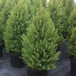 Small dwarf trees that are characterized by their vibrant green, tight, dense foliage, which gives the trees a slightly