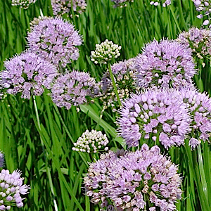 Featuring light lavender-pink flowers in the shape of little globes above deep green swordlike leaves. A true summer beauty, blooms cover the verdant foliage from June to August. Drought tolerant once established, this variety is perfect for the rock garden and makes a nice cut flower. Plant in well-drained soil.