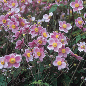 Robustissima sports masses of light violet-pink blossoms! There are plenty of flowers to cut, so put some in a vase. Blooms form over large mounds of many-lobed dark green foliage in late summer. This grape-leaf Anemone is deer-resistant.