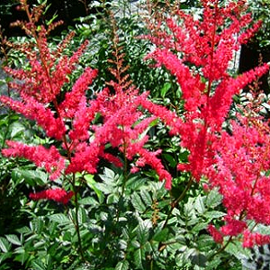 It is a tall cultivar, which features large panicles of dark red flowers on upright stems (to 3.5 feet tall). Typically forms a foliage mound to 12-15