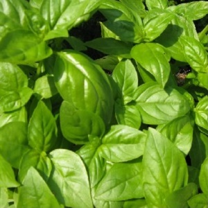 Sweet basil is ideal for tomato sauces, pestos and salads.