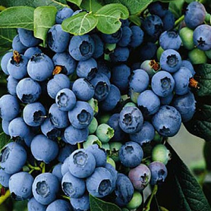 Blueberry Berkeley is a late midseason blueberry and carries attractive powder blue fruit with a pleasing light flavor and good dessert quality. 'Berkeley' is the most popular home garden varieties. Blueberries are extremely nutritious and have a high vitamin content.