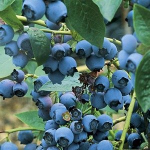 Blueray Blueberry plants are a heavy yielding (up to 20 lbs from a mature plant) producer of large, powder blue and super sweet berries. An excellent choice for eating fresh or in desserts, Blueray is comparable to Bluecrop, but even sweeter. Miid-season berry, ripening in August.