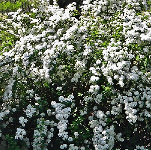 Among the easiest flowering shrubs to grow, spireas are often used in foundation plantings, as hedges, and in perennial gardens.