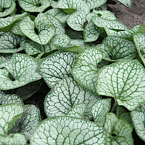 Large silver heart-shaped leaves have prominent green veins with exceptional substance. Provides sprays of bright blue forget-me-not flowers in spring. An improved Brunnera that holds up far better in the heat and humidity of the summer. Stunning for the shade garden as well as containers.