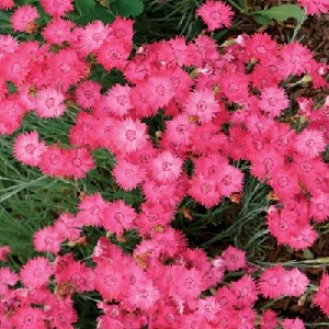 Produces an outstanding display of pink blooms borne singly on 10 inch stems in spring through early summer.  Blooming will repeat intermittently and can be encouraged by shearing back spent blooms.