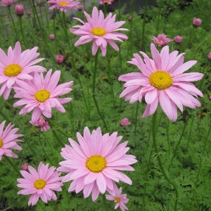 A truly hardy, perennial mum, Clara Curtis will return year after year to bloom with soft pink daisy flowers in the fall.