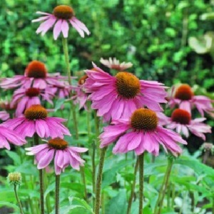 Probably the most popular of our native wildflowers. Plants form a medium to tall clump of coarse dark-green leaves, by midsummer bearing large daisy flowers with mauve-purple to rose-pink petals surrounding an orange-brown central cone.