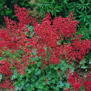 A great smelling coral bell! Vibrant shades of red on wispy, vertical stems. Vigorous and many flowered, Heuchera's attractive foliage and airy flower panicles provide color and contrast.  Great border plant