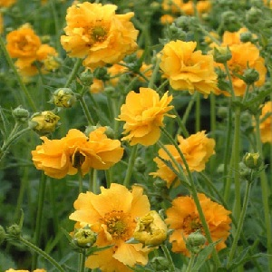 Geum Lady Stratheden is a garden perennial with semi-double bright yellow flowers. It will typically bloom in mid to late spring and last until late summer.