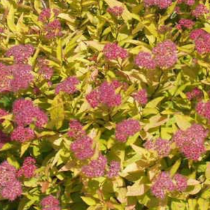 Dense, upright mounded shrub features attractive bronze-tinged new growth in spring, maturing to soft yellow-green. Fall foliage color is brilliant coppery-orange. Provides wonderful contrast in shrub borders. Good heat tolerance