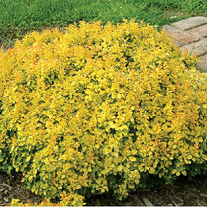 Super bright solid yellow foliage which retains its color well, except for in areas with lots of shade, where the leaves will then turn more of a lime green color. A very dense form of Barberry, and is relatively slow-growing when compared to other varieties of this species.
