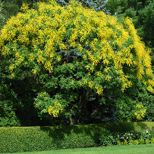 Golden Rain Tree is an excellent small lawn and street tree that is adaptable to most soil conditions. With yellow flowers, good golden fall color, and seeds that change from green to yellow to tan, Golden Rain Trees are known for their fast-growing nature.
