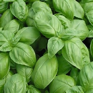 This Italian variety has extremely tender, fragrant, extra-large, dark green leaves and is superb for pesto.