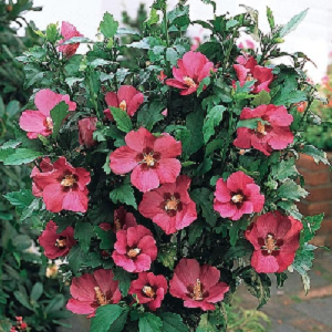 Easily grown in average, medium moisture, well-drained soils in full sun to part shade. Best flowering occurs in full sun. Prefers moist, organically rich soils, but tolerates poor soils and some drought. Very tolerant of summer heat and humidity.  Prune to shape in spring.