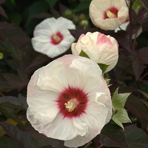 Perennial zone 4-9.  Sunny area. Plant is no higher than 2 1/2 ft tall. Dark very refined maple-cut leaves along with yellow buds and 8 inch creamy white flowers with a slightly streaking red center, makes this plant the garden Hardy Hibiscus will die back to the ground every winter and emerge from the ground in mid to late spring. Remove old canes to the ground in mid-winter.