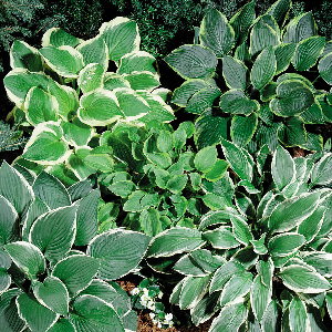 Perennial - Hostas spread quickly by rhizomes and can easily be divided, usually in the fall. The clumps are dug and then pulled apart or cut into sections. The larger the piece planted, the quicker the hosta will re-establish. They are hardy perennials and tend to favor morning sun, afternoon shade, and a steady supply of water.