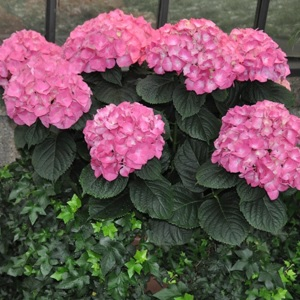 Large red blooms make this a popular Hydrangea.  It is a nophead variety that makes for a good cut flower.