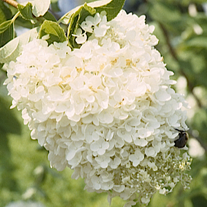 Compact form with well-defined dark green foliage that turns wine-red to burgundy in fall. Covered with glistening white baseball-size blooms in summer.