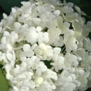 Annabelle is an ornamental shrub with outstanding flowers.  Creates a rounded shrub covered in enormous clusters of flowers that consist of a multitude of tiny white blossoms.