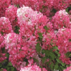 This brilliant French bred Hydrangea has the reddest of all Hydrangea paniculata varieties. During early summer it unfurls very large heads of white flowers. These flowers gradually turn pink and as summer moves into autumn a spectacular purple shaded red.