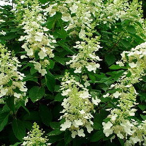 Tardiva is a vigorous, upright, rapidly growing, somewhat coarsely textured, deciduous shrub which typically grows 8-12' (less frequently to 15') tall.