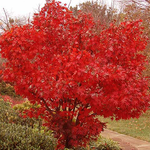 Japanese Red Maple trees are used as a single specimen or in borders or groupings. The leaves are reddish-purple in spring and again in fall. The Japanese Red Maple tree is used to create a unique bonsai tree.  The classic Japanese maple has red-purple leaves which turn a brilliant red in autumn.