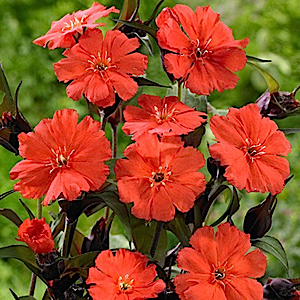 Bright, red-orange flowers bloom over contrasting bronze foliage throughout the summer. Larger flowers than the species. Seedpods provide fall interest. Deer-resistant and drought-tolerant.