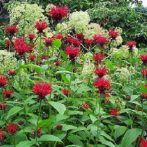 Perennial zones 4-9.  Flowers June - August.  One of the best reds and hightly attractive for the hummingbirds.  Leaves have a delightful mint smell and can be used for teas.