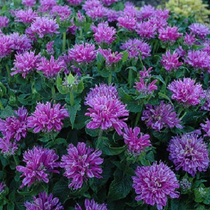 Petite Delight is a compact bee balm cultivar that typically grows to only 12-15 inches tall with an oval to rounded habit.  Long summer bloom and attractive to hummingbirds, bees and butterflies.