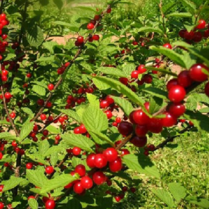 Thrives almost anywhere. Usually bears the first year if planted early enough. Tart, tangy flavor like that of sour cherries. Holds well on the plant 2 to 3 weeks after ripening. Attracts birds and other wildlife. Heavy crops.