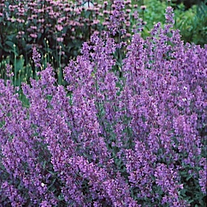 Catmint!  Nice lavender-blue flowers that bloom over the gray-green foliage.  Great catmint-scent.  Make tea from this.