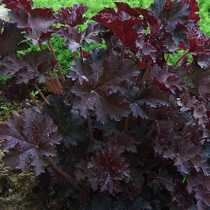 Plants form a low mound of maple-shaped leaves, from bronzy-green to rich purple-red. Spikes of small creamy-white flowers appear in early summer.