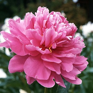 Perennial - Peonies say spring is here.   Their smell is wonderful.  Peonies grow and flower best in full sun, but will tolerate some light afternoon shade.  Peony plants are not overly fussy as to the soil.
