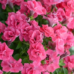 Great for hanging baskets and summer color