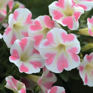 Surfinia is known for its strong garden performance, endless flowering and excellent rain resistance.  Great trailing plant for hanging baskets