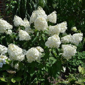 A large shrub, with long branches, each bearing big panicles of creamy-white flowers, becoming pinkish-red as they age.  Prune hard and fertilize in the spring.