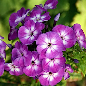 Fragrant violet flowers have white eyes. Clusters of pretty blooms appear in midsummer above compact green foliage