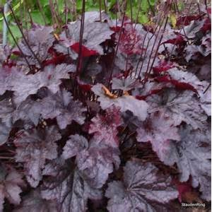 Forms a sturdy mound of rich plum-purple leaves with a shimmering metallic finish. Sprays of creamy flowers appear in June. Excellent in the border, for edging,