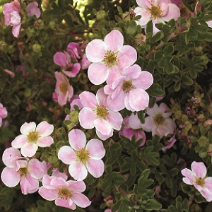 A prolific bloomer with clear pink flowers that cover the bright green foliage; flower color will fade when nights are extremely hot. A versatile shrub for borders, along walks, low hedges and as a mass or foundation planting.