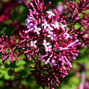 Flowers opening dark red-purple, fading to soft-pink give a two-tone effect to this daintily-leaved, daintily-sized (to 4-6 foot) Lilac