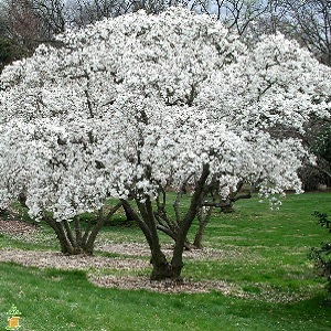 Early bloomer with large, fragrant, white double flowers appearing before the foliage emerges in spring. Useful in areas where late freezes can occur. Open-branched, multi-trunked large shrub or small tree.