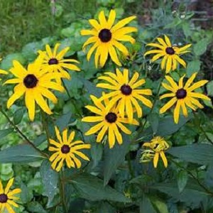 Zone 4-8.  Among the best border perennials available, this is a selection of one of our native North American wildflowers. Plants make a bushy, upright clump with a profuse display of brown-eyed, golden-orange daisies from midsummer through the fall.