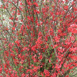 This is a bright red flowering cultivar that produces many canes. Periodically remove some of the old canes to encourage new growth in the center of the plant. Prune immediately after flowering.