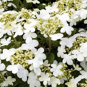 A beautiful medium-size shrub with a broadly rounded form. The tiered horizontal branches magnificently display the showy white flower clusters. Highly ornamental red fruit develops in the fall.