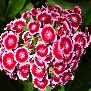 Of the Dianthus family, so clove like smell.   That is enough of a reason to have them blooming.  They reseed themselves, so you will see them reproduce.