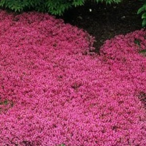 This is a low, creeping variety, the foliage is dark green, smothered by bright magenta-pink flowers in early summer. Can be used in between stepping stones and will tolerate light traffic. Creeping Thyme is easily divided in spring or early fall, and even small pieces will take root and grow.