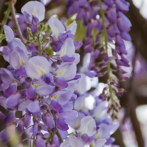 Amethyst Falls, like other Wisteria, is a strong grower, reaching 30 feet or more. It is, however, not invasive like its Asian cousins.